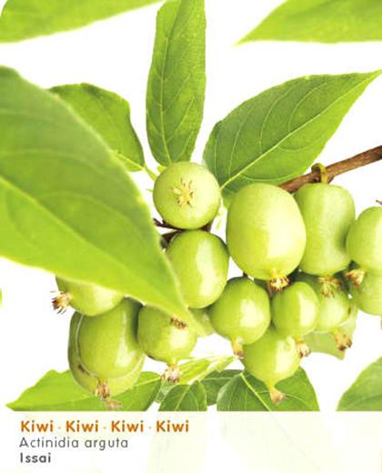 Actinidia arguta 'Issai' - mini-kiwi