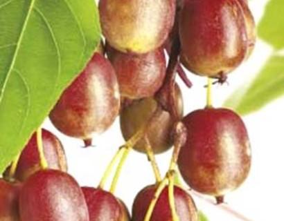 Actinidia arguta 'Ken's Red' - mini-kiwi