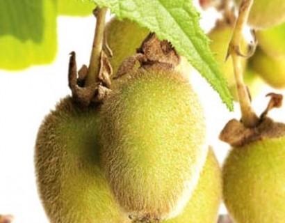 Actinidia chinensis 'Jenny' - kiwi