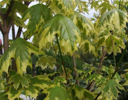 Acer platanoides 'Drummondii' boom - bontbladige esdoorn