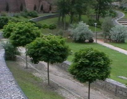 Acer platanoides 'Globosum' hoogstam bolvorm - bolesdoorn hoogstam bolvorm