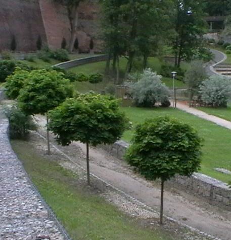 Acer platanoides 'Globosum' - bolesdoorn bolvorm