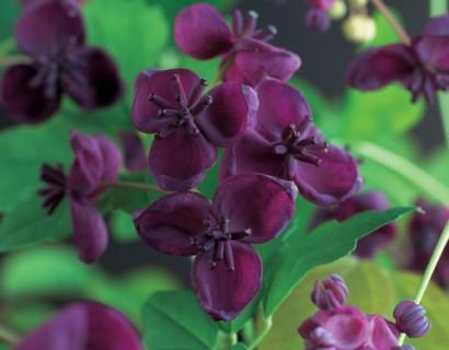 Akebia quinata - schijnaugurk