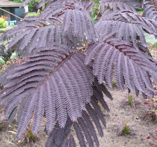 Albizia jul. 'Summer Chocolate' in pot