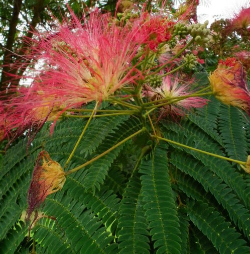 Albizia julibrissin boom/op stam - Perzische slaapboom