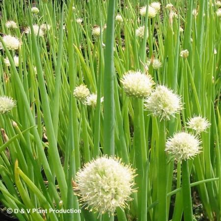 Allium fistulosum - grove bieslook