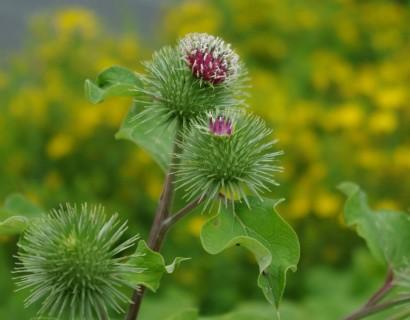 Arctium lappa - kliswortel
