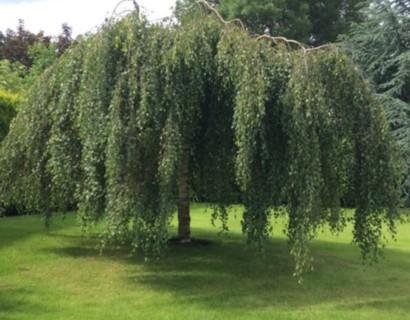 Betula pendula 'Youngii' - prieelberk