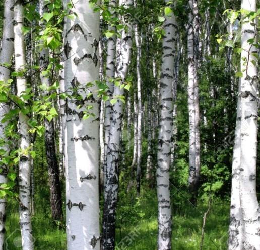Betula utilis - witte himalayaberk