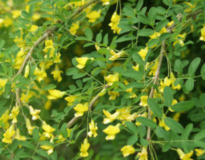 Caragana arborescens 'Pendula' - erwtenstruik