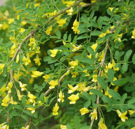 Caragana arborescens 'Pendula' op stam - erwtenstruik