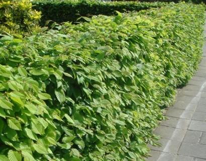 Carpinus betulus 125/150