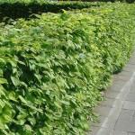 Wat is het verschil tussen beuk (beukenhaag, Fagus sylvatica) en haagbeuk (Carpinus betulus)?
