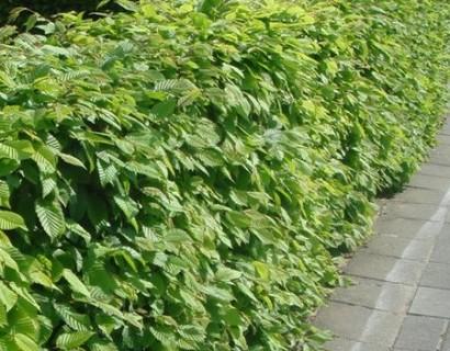 Carpinus betulus 60/80 cm haagbeuk - haagbeuk