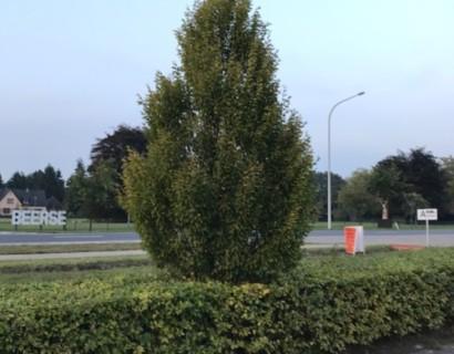 Carpinus betulus 'Fastigiata' pot 6/8 - zuilvormige haagbeuk