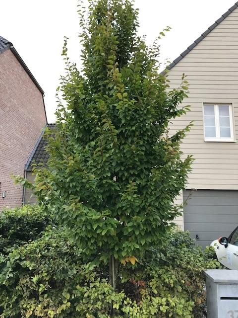 Carpinus betulus 'Frans Fontaine' - zuilvormige haagbeuk