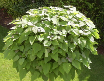 Bolcatalpa in pot