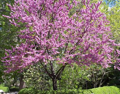 Cercis chinensis 'Avondale' boom - judasboom