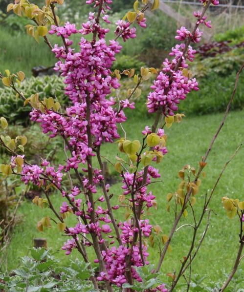 Cercis canadensis 'Avondale' - judasboom