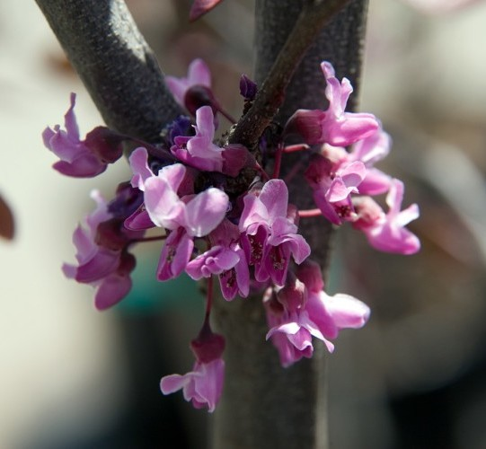 Cercis canadensis 'Forest Pansy' boom - Judasboom