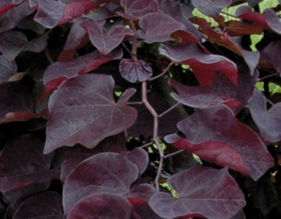 Cercis canadensis 'Ruby Falls' boom - judasboom