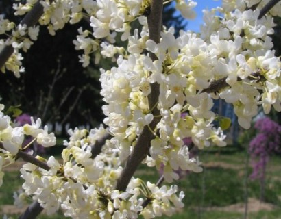 Cercis canadensis 'Texas White' boom - judasboom