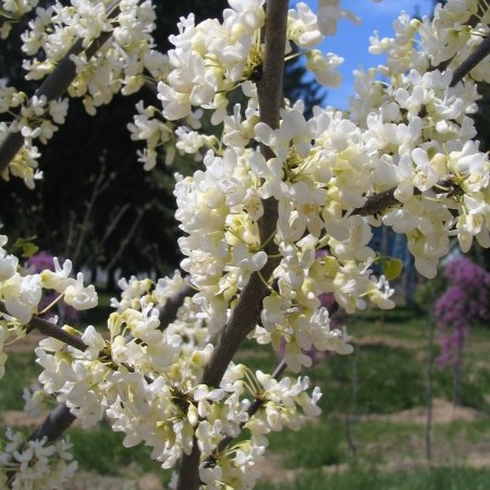 Cercis canadensis 'Texas White' - judasboom