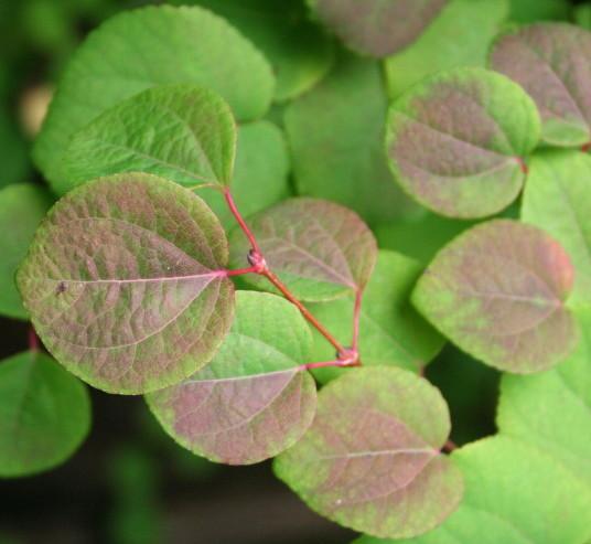 Cercidiphyllum japonicum - katsuraboom