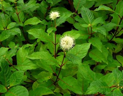 Cephalanthus occidentalis - kogelbloem