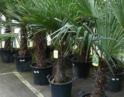 Chamaerops excelsa of Trachycarpus fortunei - palm