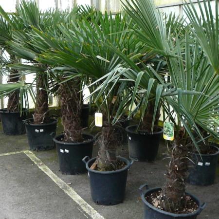 Palmboom Chamaerops excelsa pot