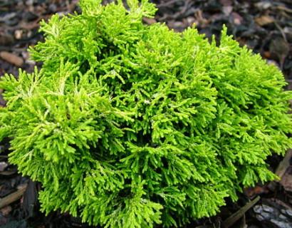Chamaecyparis obtusa 'Butterball' - schijn- of dwergcypres