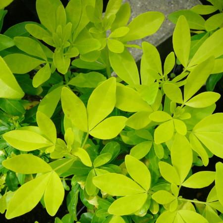 Choisya 'Brica' - Mexicaanse oranjebloesem