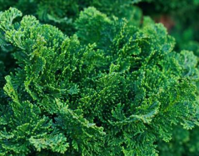 Chamaecyparis obtusa 'Nana Gracilis' - schijn- of dwergcypres