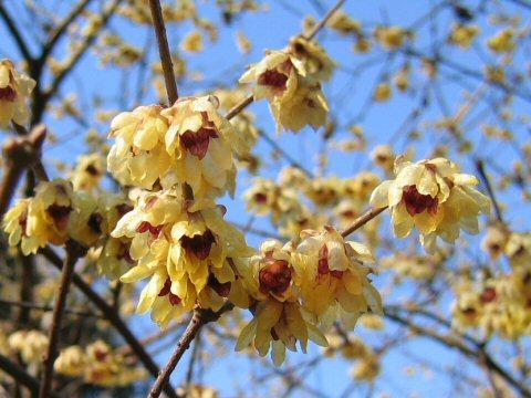 Chimonanthus praecox - winterzoet