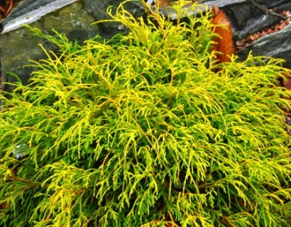 Chamaecyparis pisifera 'Sungold' - schijncypres