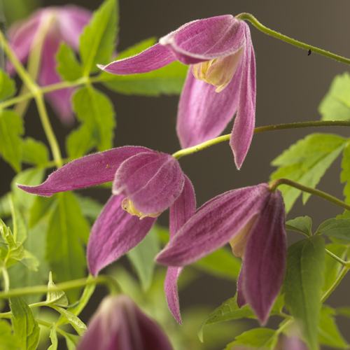 Clematis alpina 'Ruby' - bosrank