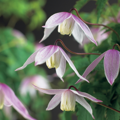 Clematis alpina 'Willy' - bosrank