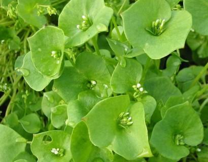 Claytonia perfoliata - winterpostelein