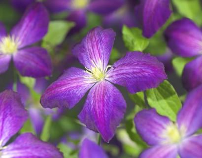 Clematis 'Jackmanii Purpurea' - bosrank