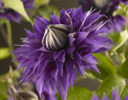 Clematis 'Multi Blue' pot 3 liter
