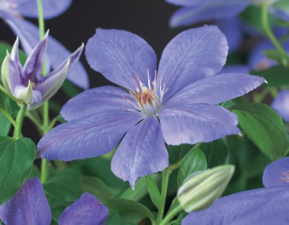 Clematis 'Mrs Cholmondeley' - bosrank