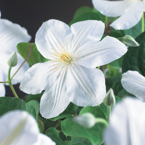Clematis 'Madame Le Coultre' - bosrank