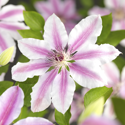Clematis 'Nelly Moser' - bosrank