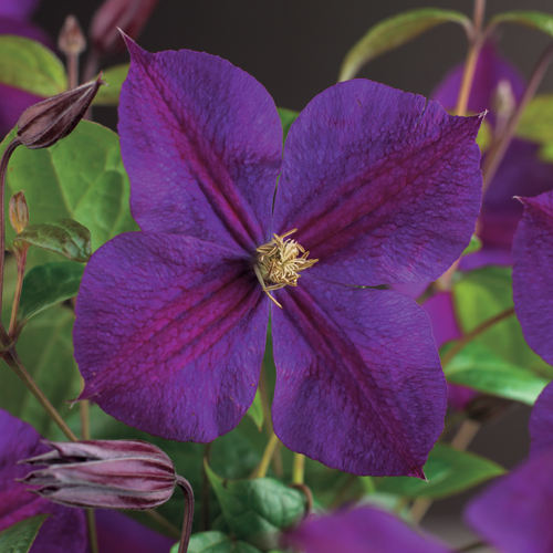 Clematis 'Star of India' - bosrank