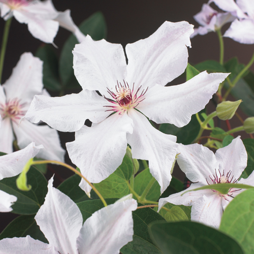 Clematis 'Snow Queen' - bosrank