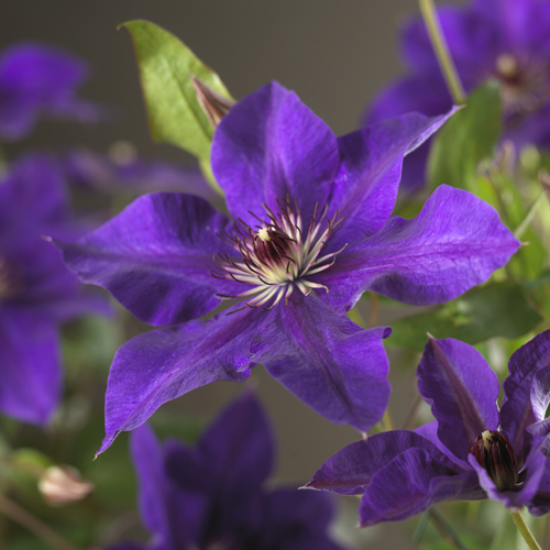 Clematis 'The President' - bosrank