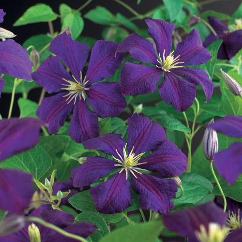 Clematis viticella 'Etoile Violette' - bosrank