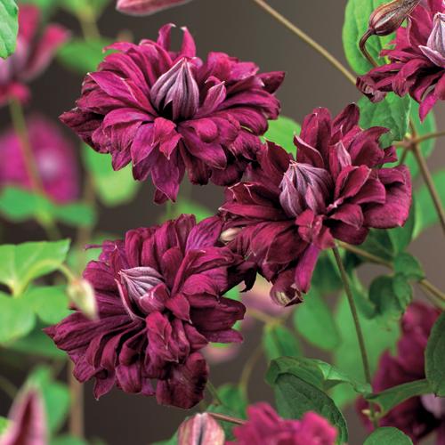 Clematis viticella 'Purpurea Plena Elegans' - bosrank