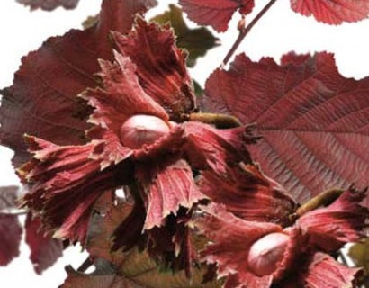 Corylus avellana 'Rode Zeller'